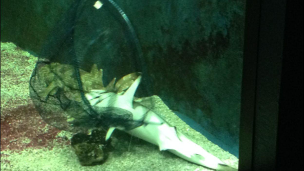 La mort dun requin ? lAquarium Dubuisson de Liege