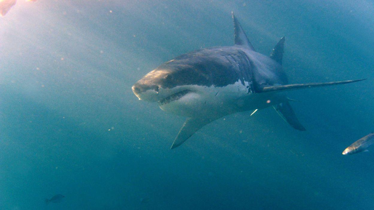 Un requin blanc captur au large des c tes japonaises for Aquarium insolite